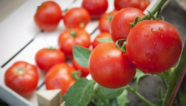 tomaten pflanzen die richtige pflege bringt mehr ernte