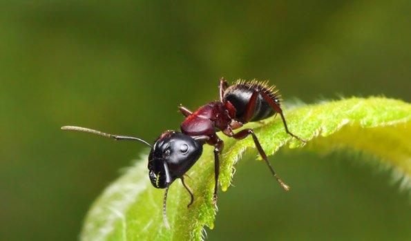 ameisen im garten ameisen im hochbeet garten interessante ameisen umsiedeln insekten schonend. Black Bedroom Furniture Sets. Home Design Ideas